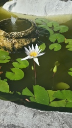 A pond in Marina Cay sprouts Lillies! Photo by me